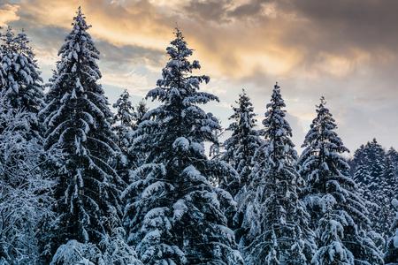 저녁 하늘 아래 눈 덮인 가문비 나무 숲입니다. 화려한 자연 배경 스톡 콘텐츠