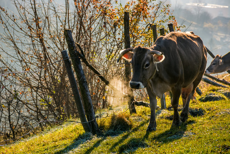 rufous cow near the fence on hillside on foggy morning. beautiful countryside scenery