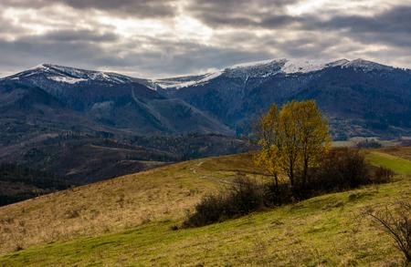 Baum mit gelbem Laub in Bergen. Bergrückenlandschaft mit schneebedeckten Gipfeln in der Ferne. wunderschöne und ungewöhnliche Landschaft im Herbst Standard-Bild - 87904416