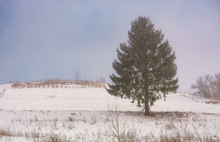 coniferous tree on snow covered meadow on foggy morning Stock Photo