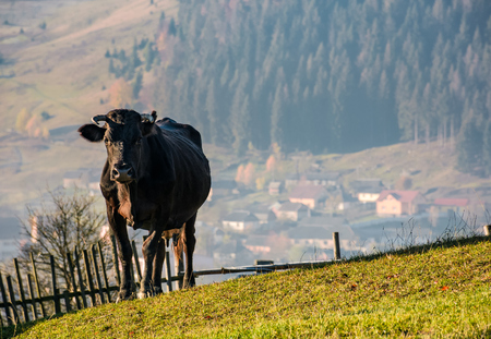 black cow on grassy hillside above the village. beautiful countryside scenery Stock Photo