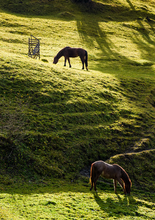 two horses grazing on the green gassy hillside. lovely scenery on farm outdoor Stock Photo
