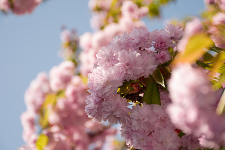 pink sakura flowers on a twig. lovely spring background of cherry blossom against the blue sky Stock Photo
