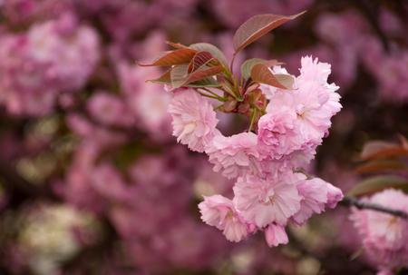 春の花の咲く庭の背景をぼかした写真の枝にピンクのさくら花クローズ アップと美しい春の背景