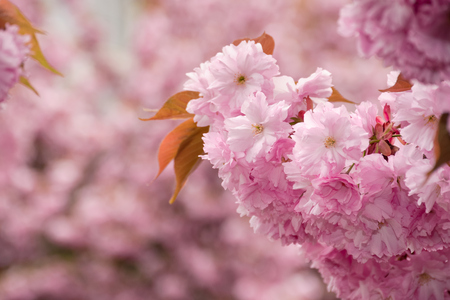 beautiful spring background with pink Sakura flowers closeup on a branch on the blurred background of blossoming garden in springtime