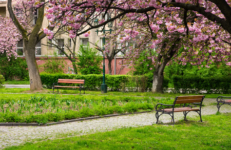 beautiful springtime background. Pink Sakura trees behind the wooden bench in blossoming city park