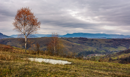 birch tree on hill above the village. gloomy autumn landscape in mountains with snowy peak in the distance