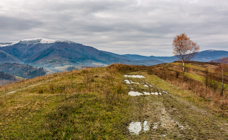 birch tree by the dirt road on hill. gloomy autumn landscape in mountains with snowy tops in the distance Stock Photo