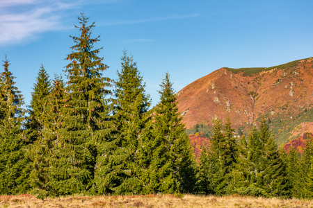 spruce forest at the foot of a mountain ridge. ravishing nature scenery in autumn Stock Photo