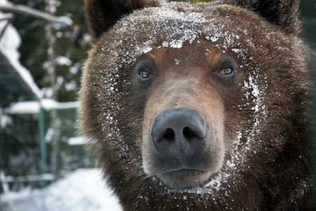 muzzle of a brown bear in snow. curious animal look. focus on eyes Stock Photo