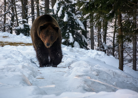 brown bear walking in the winter forest. lovely wildlife scenery Stock Photo