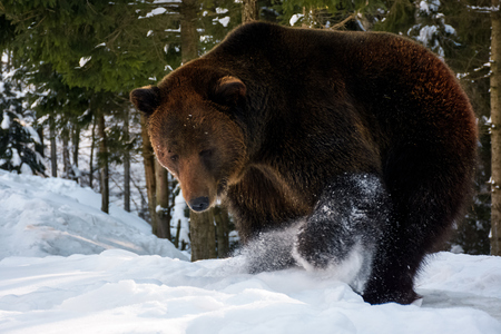 brown bear searching something in the snow. lovely wildlife scenery
