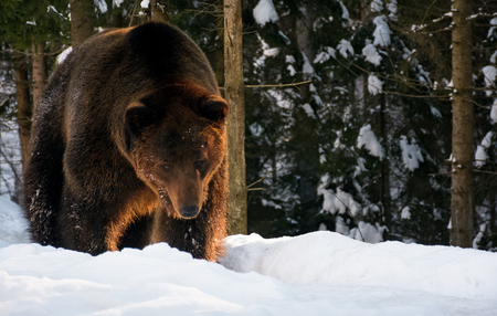 old brown bear walking in the winter spruce forest. lovely wildlife scenery in evening light Stock Photo - 88992579