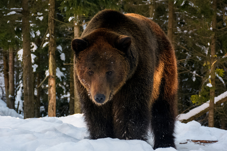 old brown bear stand and stare in the winter forest. lovely wildlife scenery in evening light