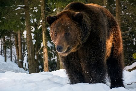 old brown bear stand and stare in the winter forest. lovely wildlife scenery in evening light Stock Photo - 88992585