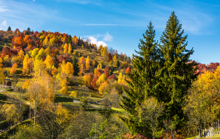 autumn in mountainous rural area. two huge spruce trees in front of a hill with forest in yellow foliage Stock Photo