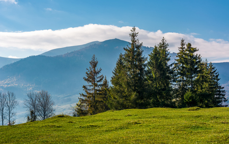 spruce tree on grassy hillside. beautiful landscape in mountains Stock Photo