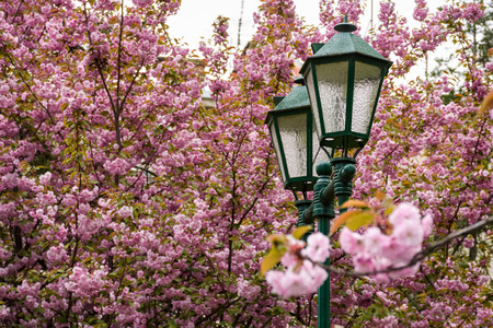 old green lantern among cherry blossom. beautiful spring background