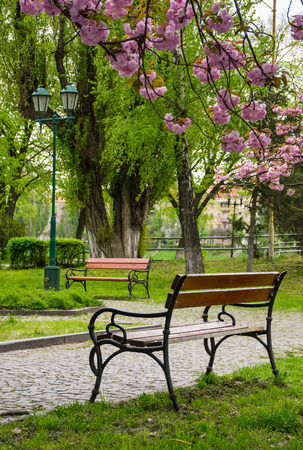 wooden benches under sakura trees. beautiful cherry blossom in city park Stock Photo