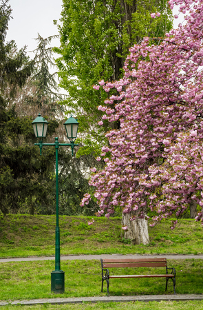 lantern, wooden bench and cherry blossom in citypark. beautiful spring background