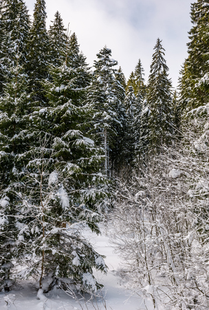 snowy spruce trees in forest. lovely nature background in winter Stock Photo
