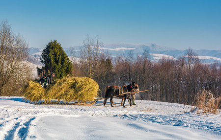 Pilipets, Ukraine - December 21, 2016: traffic in mountainous rural area in winter. cart with two horses loaded with hay slowly moves by snowy countryside road. beautiful high mountains in a distance