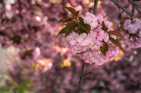 桜の咲く美しい春の背景。枝にピンクの柔らかい芽