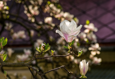 beautiful spring background with magnolia flowers. pink tender buds on branches
