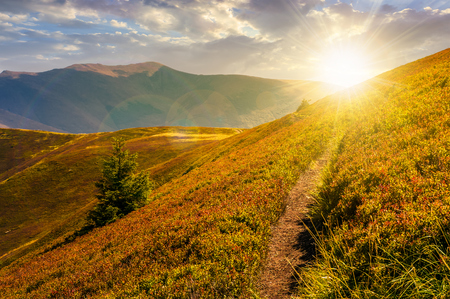 path though mountain hills and ridge at sunset. beautiful scenery with spruce tree on a slope in fine weather on late summer day