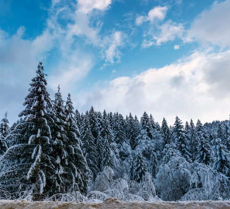 snow covered spruce forest in winter. amazing nature scenery with gorgeous afternoon sky