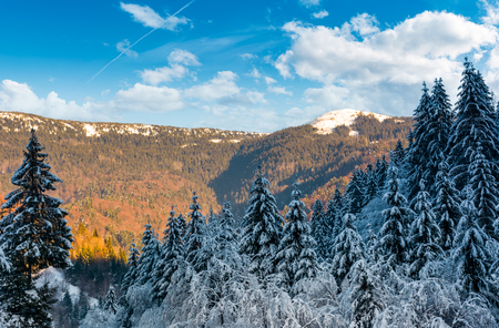 snowy conifer forest in mountains. beautiful nature scenery in evening light Stock Photo