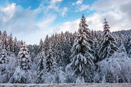 눈이 겨울에 덮여 가문비 나무 숲. 화려한 저녁 하늘을 지닌 놀라운 자연 경관