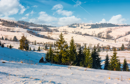 spruce forest on snowy hillside of rural area. lovely Carpathian countryside winter scenery Stock Photo