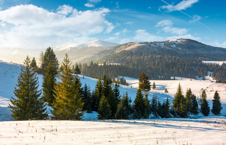 spruce trees on snowy hillsides at sunrise. gorgeous nature winter scenery in mountains