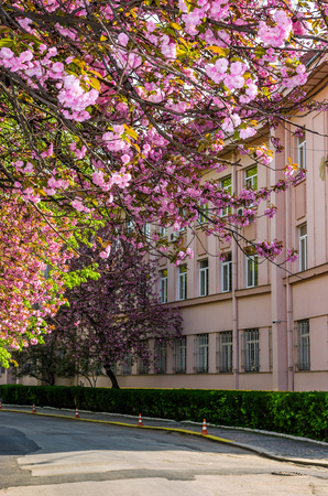 Cherry blossom on the city street of Uzhgorod. Beautiful cityscape in springtime