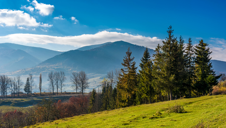Spruce trees at Volovets serpentine in Carpathians. Gorgeous late autumn landscape with Temnatyk mountain in the distance. Beautiful nature of Carpathian mountains
