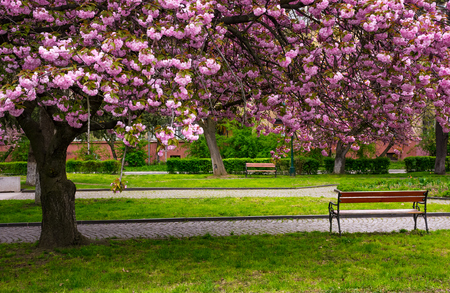cherry blossom above the benches in the park. lovely springtime background Stock Photo