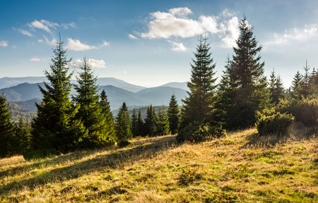spruce forest on grassy hills in sunset light. gorgeous autumn scenery in Bihor mountains of Romania