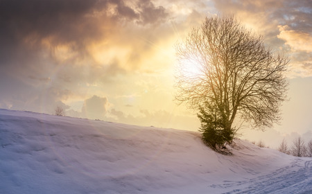 leafless tree on snowy slope at sunset. lovely winter nature background