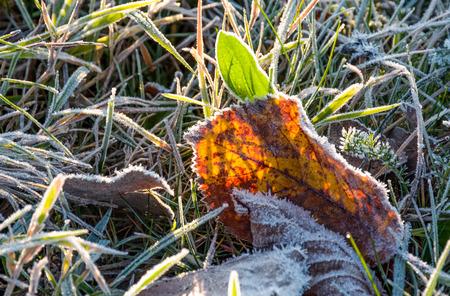 霜で覆われた緑の草の上に落ちた葉。素敵な秋の自然の背景