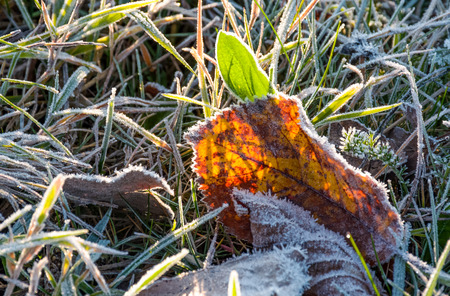 fallen foliage on a green grass covered with frost. lovely autumn nature background