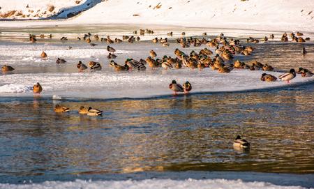 凍った川の氷の上のアヒルの群れ。いくつかの鳥が水で泳ぐ 写真素材