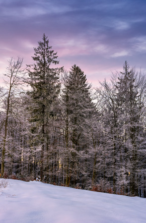 새벽에 눈 덮인 언덕에 늦었다에서 숲입니다. 마젠타 색 하늘을 지닌 겨울의 아름다운 자연 경관
