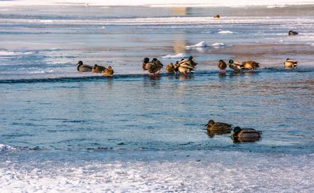 凍った川の氷の上にアヒルの群れ。何人かの鳥が水の中を泳ぐ