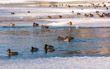 냉동 된 강 얼음에 오리의 무리. 몇몇 새는 물에서 수영한다.