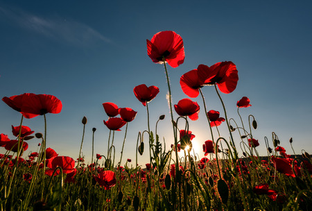veld van rode klaproos bloem met sunburst shot van onderen. prachtige natuur achtergrond tegen de blauwe hemel