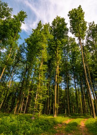 녹색 단풍과 키 큰 나무 가운데 숲 도로. 봄의 아름다운 자연 풍경 스톡 콘텐츠