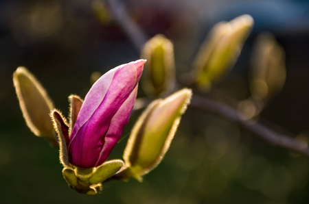 Magenta Magnolia flowers on a branch opening in springtime. beautiful intimate nature scenery