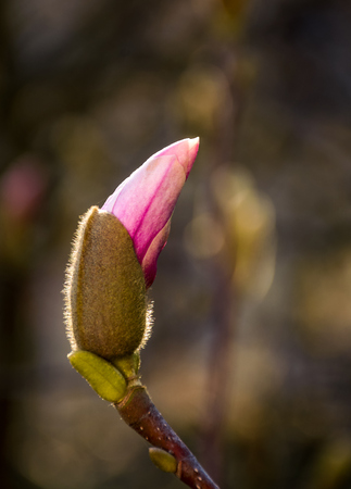 Magenta Magnolia flower opening in springtime. beautiful intimate nature scenery