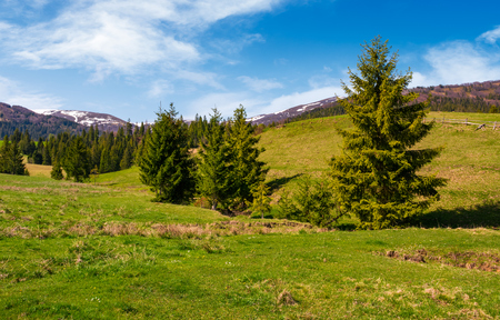 spruce forest on a grassy hill in spring. beautiful nature scenery with snowy tops of mountains in the distance Stock Photo